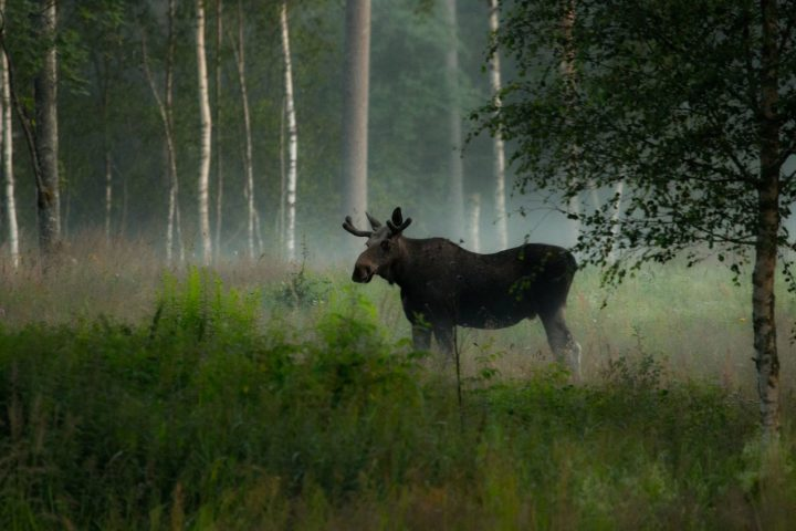 Photo_Jan_Nordstrom_Moose_3