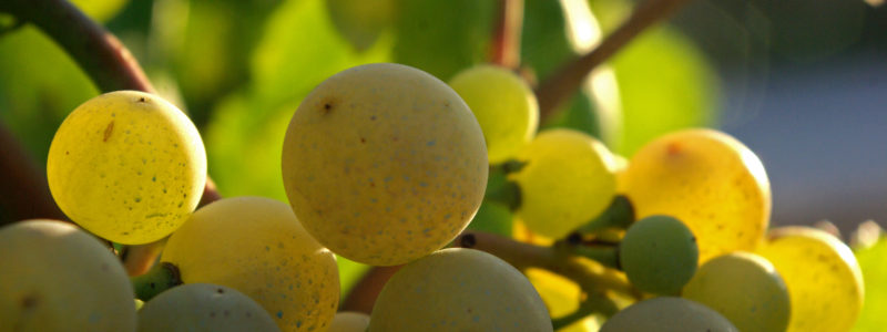 Xarel_lo_Cava_grapes-800x300